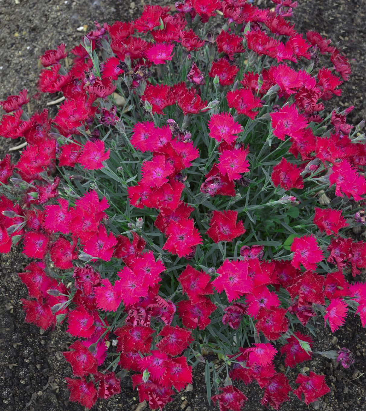paint the town magenta' - pinks - dianthus hybrid | magenta