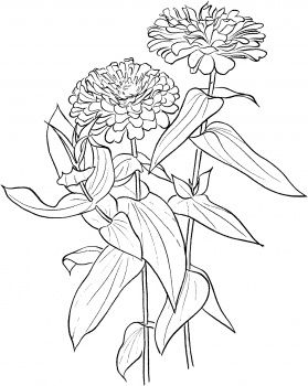 Zinnia Elegans Flower Coloring Pages Flower Drawing Zinnias