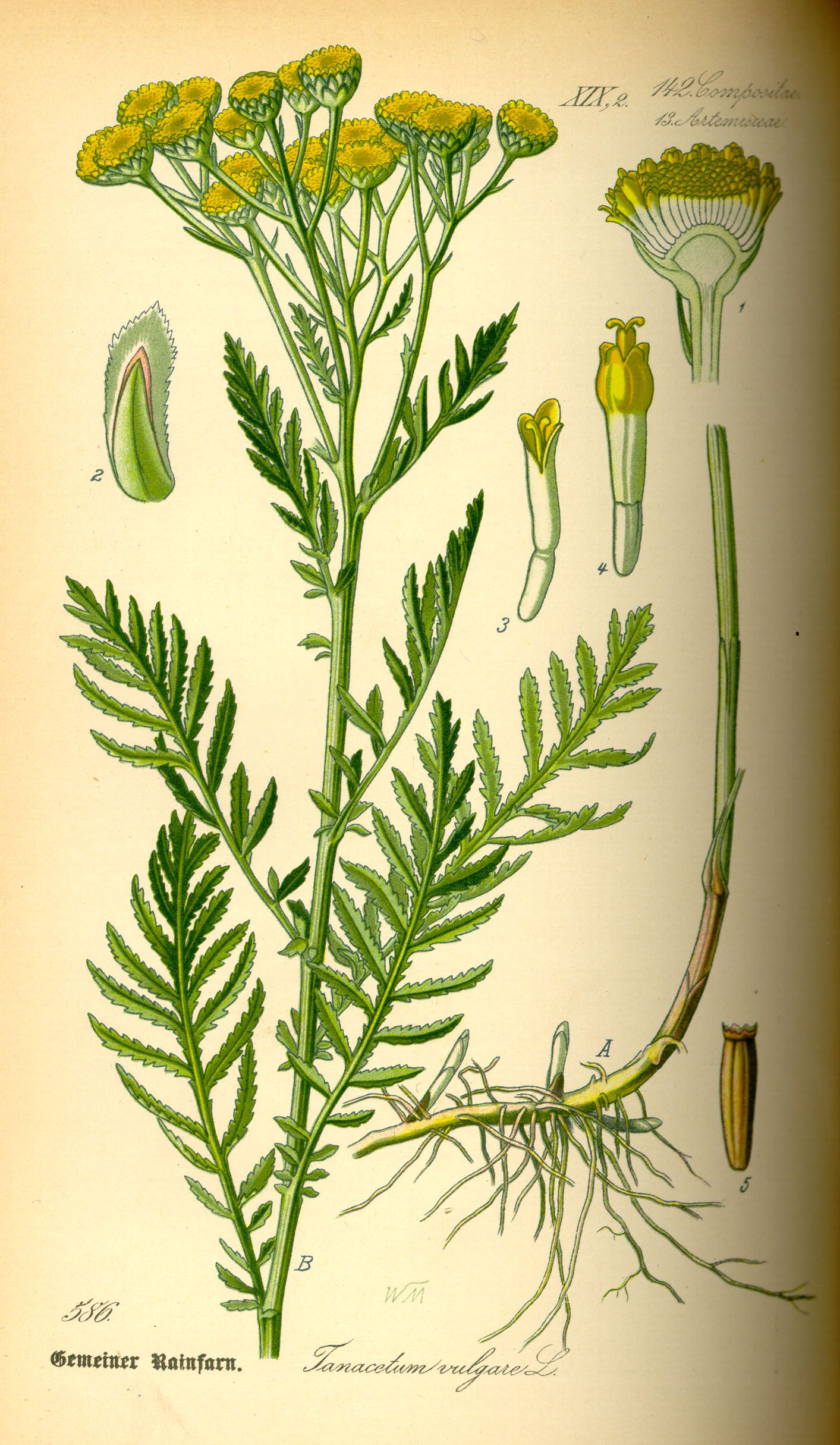 Tansy - application and beneficial properties 58