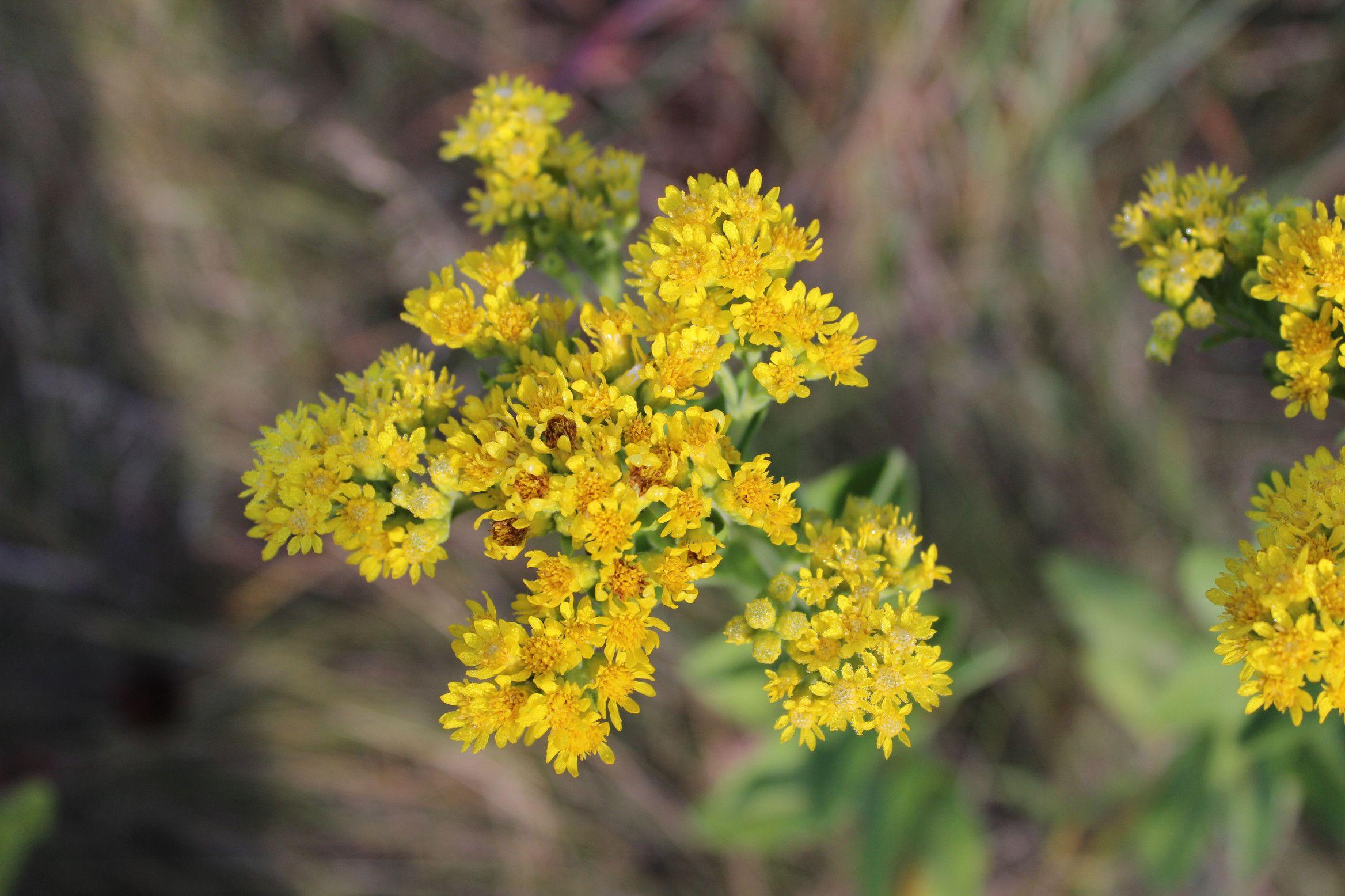 What Ragweed Looks Like Ragweed Goldenrod Goldenrod Flower