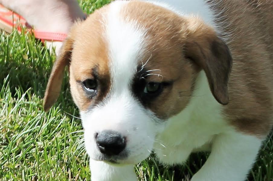 Boxador dog for adoption in northville mi adn562269 on