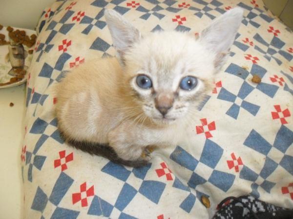 SISE - Gato adoptado - AsoKa el Grande