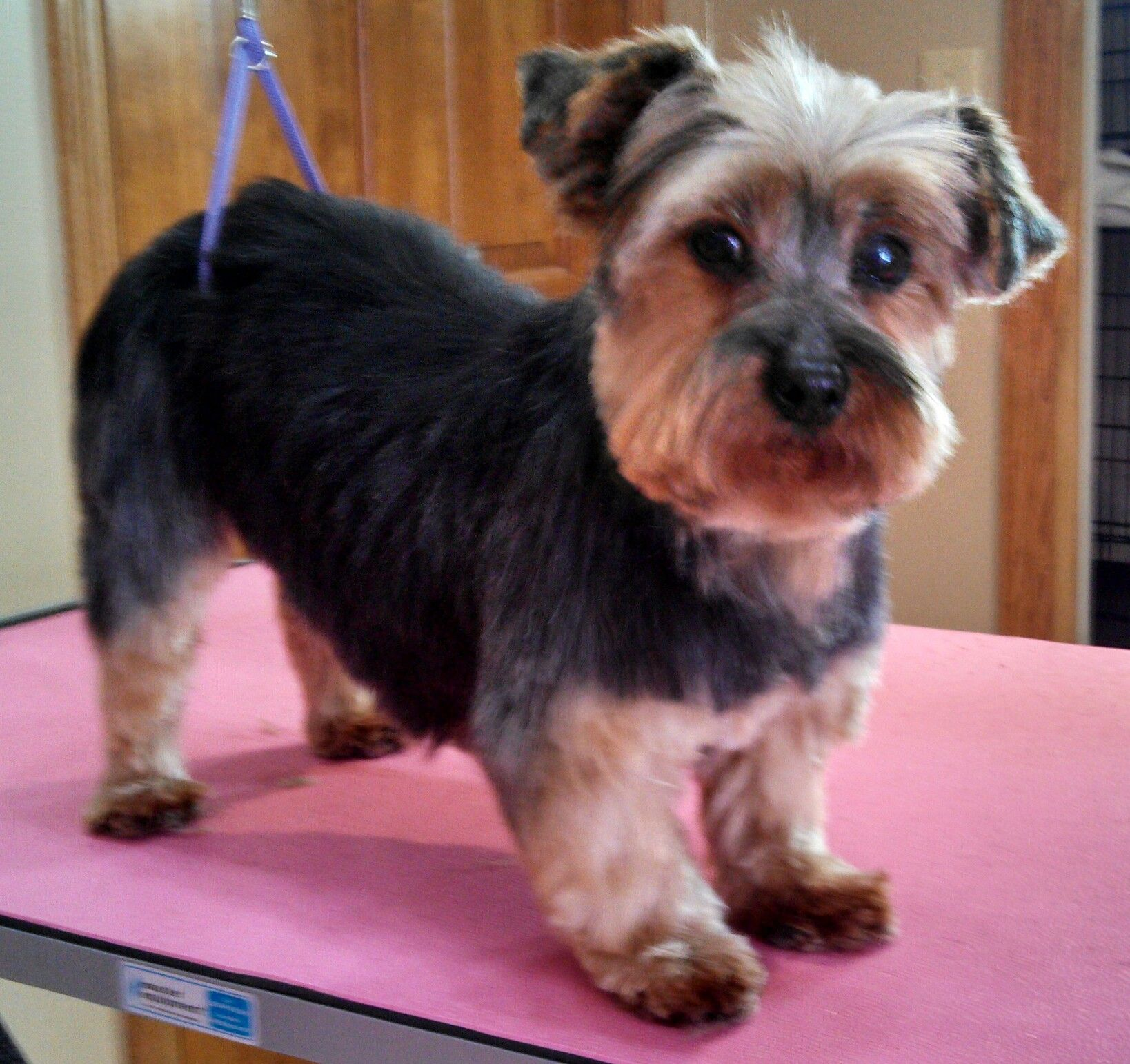 Lil Lexi Yorkie Groomed By Shag To Swag Dog Spa Plymouth Mn