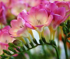 Allium Ampeloprasum Freesia Flowers Bulb Flowers Flower Bouquet Wedding