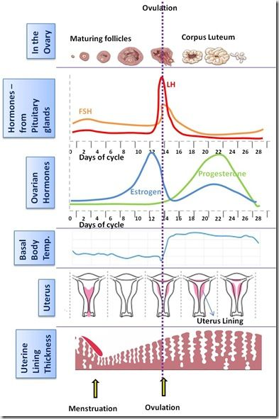 fertility cycle chart: Basal body temperature bbt charting pictures pinterest