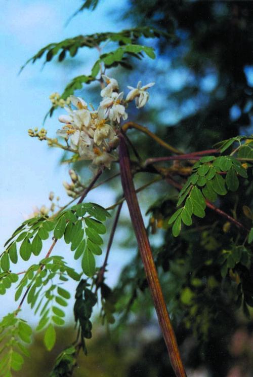 About Moringa Moringa Urban Garden Seed Pods