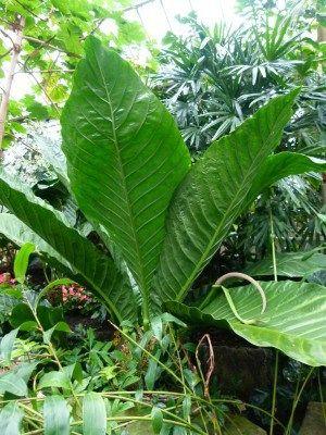 Bluehost Com Anthurium Anthurium Plant Cool Plants