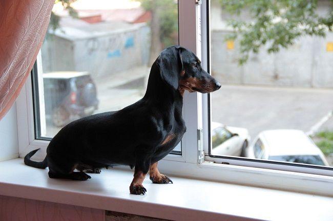 Resultado de imagen para dachshund window