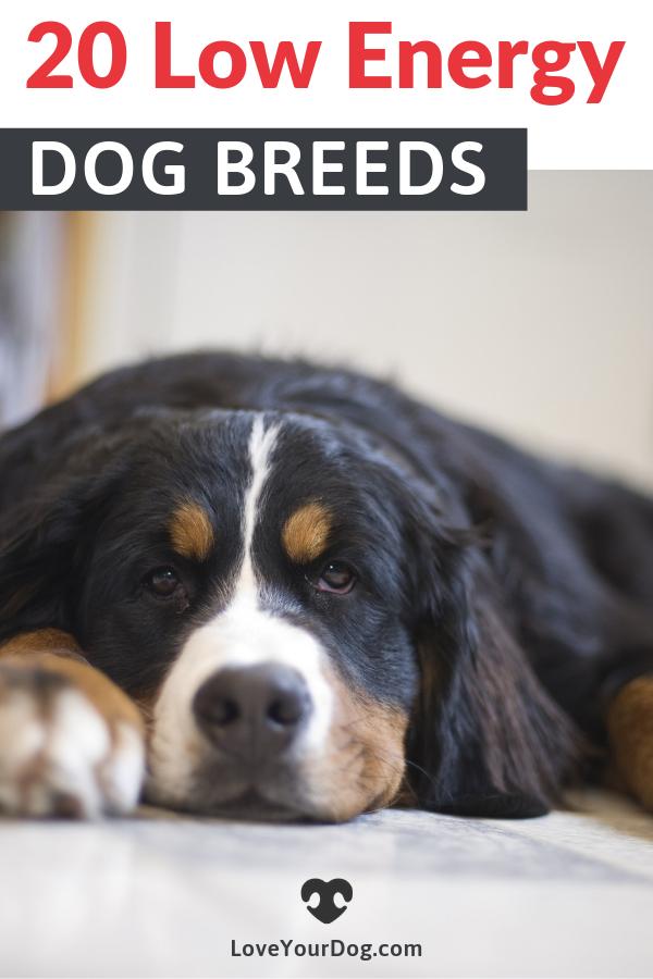 20 Lazy Low Energy Dog Breeds That Need Minimal Exercise Low Energy Dogs Lazy Dog Breeds Dog Breeds