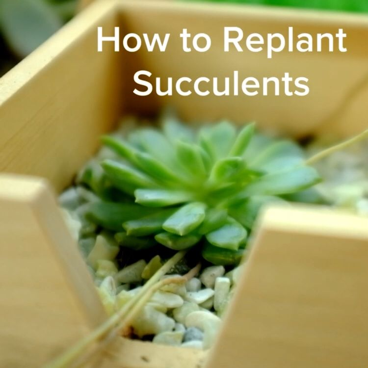 How To Replant Succulents Replanting Succulents Replant Succulents