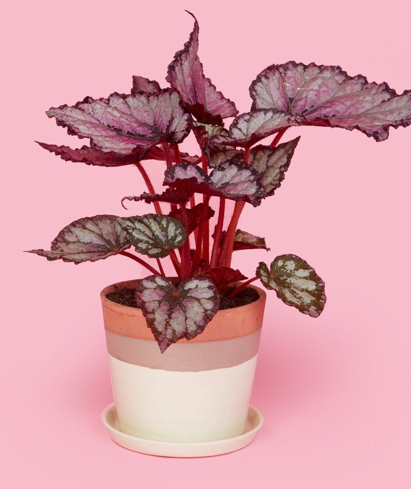 Pilea Peperomioides Plante A Monnaie Chinoise Chinese Money