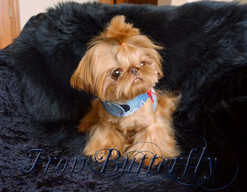tiny shih tzu puppy iron butterfly chinese imperial shih tzu tiny teacup 2193