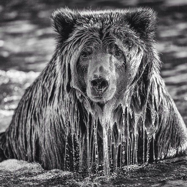 Dripping Grizzly Animals Grizzly Bear Bear