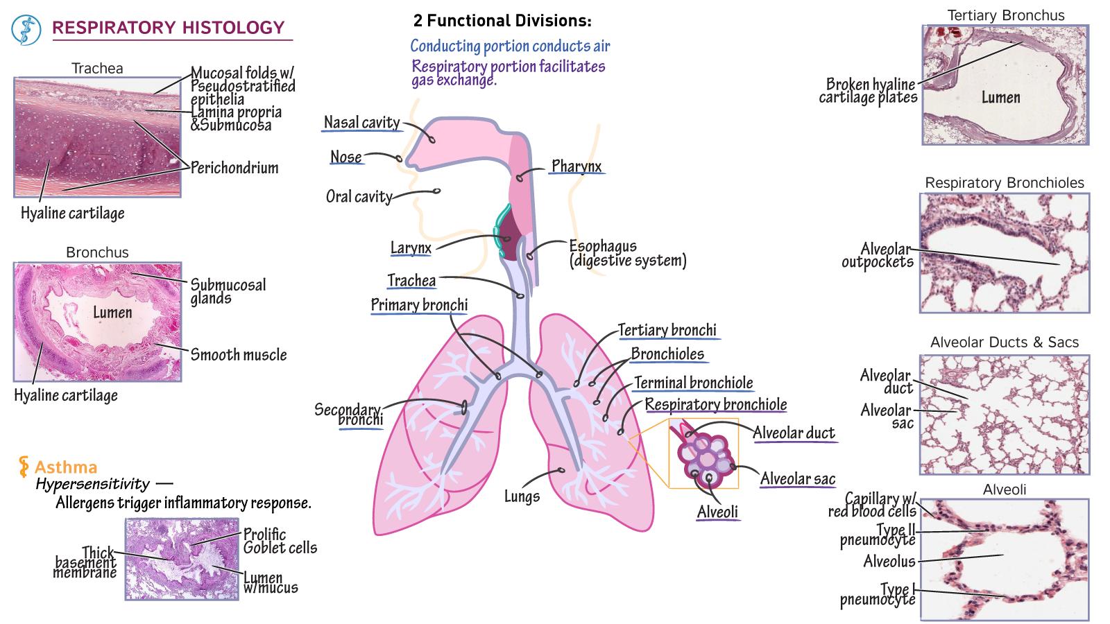 Histology: Respiratory Respiratory Section Comparisons ...