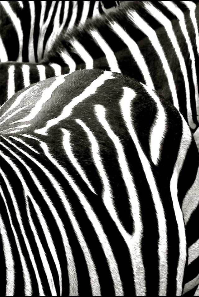 Pin By Tish Cooley On Color Black White Zebra Zebras Black