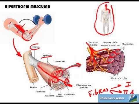 Célula muscular - YouTube | Anatomía | Pinterest | Fisiología, El ...