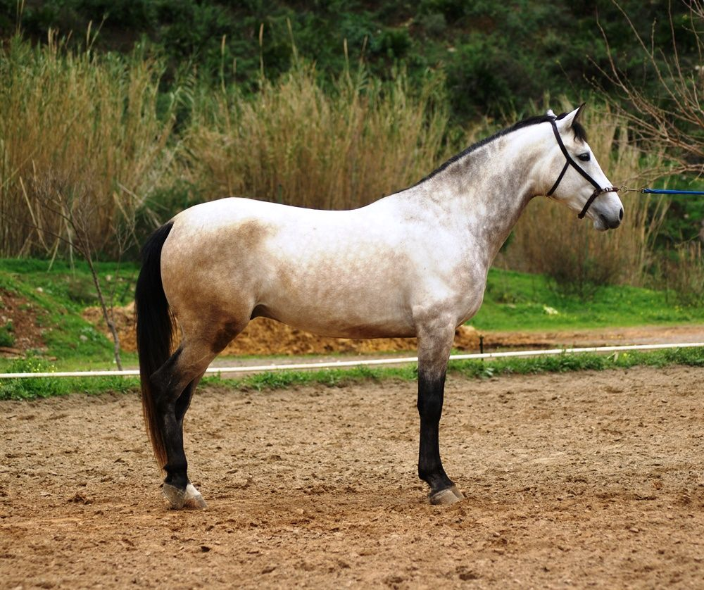 IRIDIO - The Best Spanish Horses - Horses for Sale Direct from Spain - Hispano-Arab