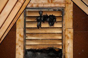 Attic Pest Removal How To Get Rid Of Overhead Guests Pest Removal Getting Rid Of Bats Bats In Attic