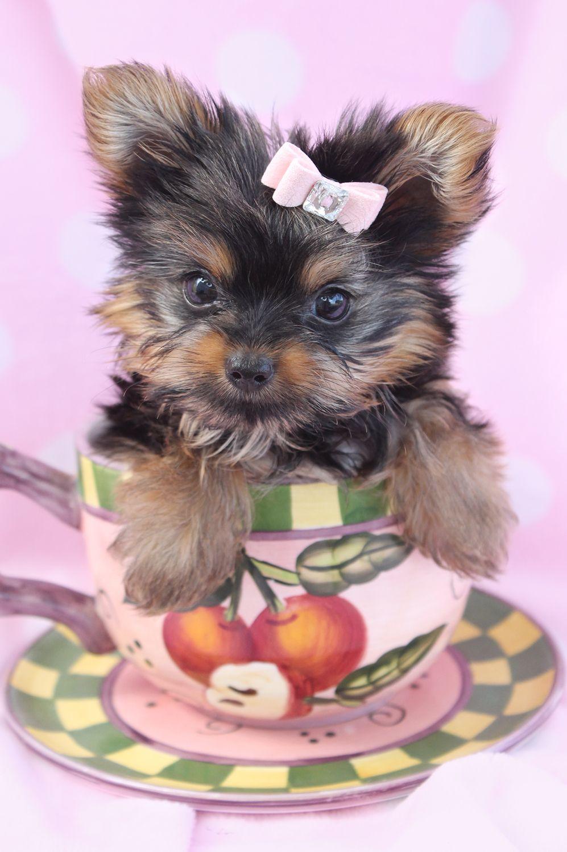 Teacup Yorkie 281 Jpg 997 1500 Yorkie Puppy Teacup Yorkie Puppy Yorkie