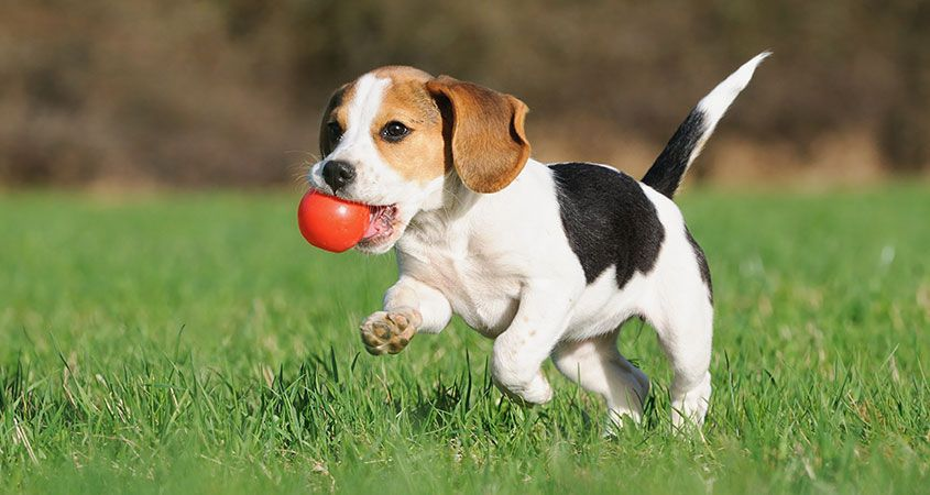The Stages Of Puppy Growth Beagle Puppy Stinky Dog Dogs