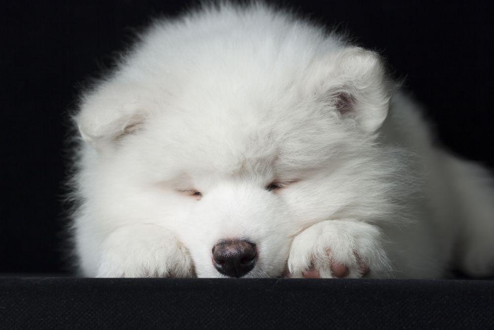 Sleepy Samoyed Puppy Http Www Localpuppybreeders Com Samoyed Dog Breed Information Samoyed Puppy Samoyed Puppies For Sale Samoyed