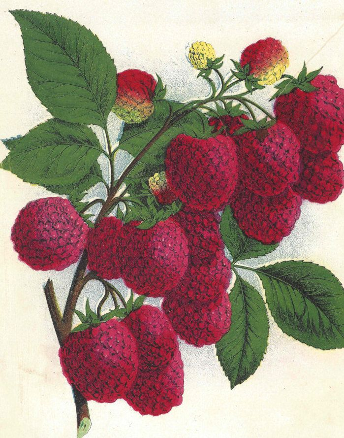 1880s Rare Antique Raspberry Print Fruit Original Chromolithograph Cuthbert Raspberry by catladycollectibles on Etsy
