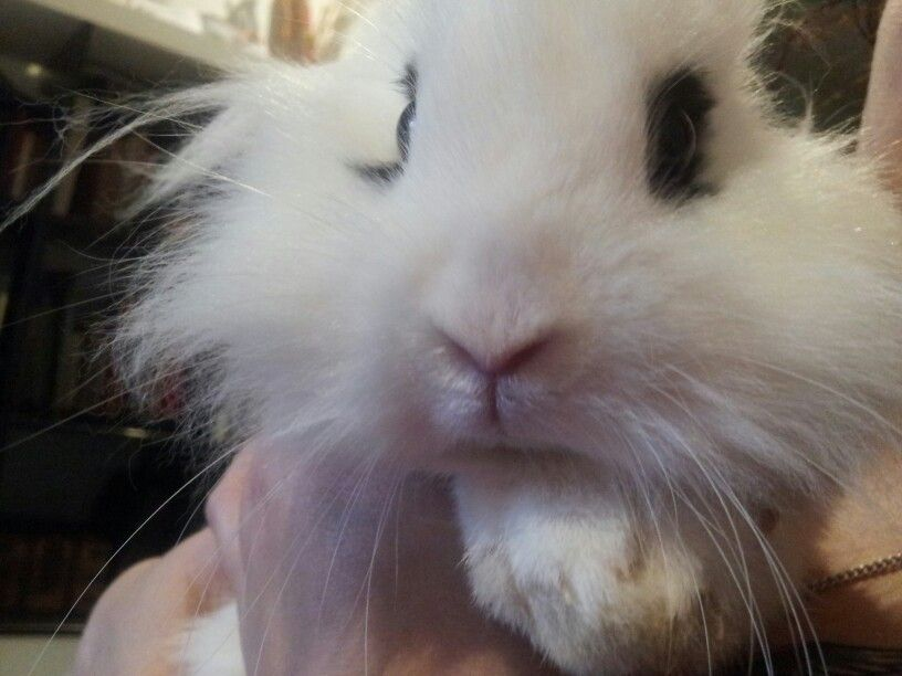 Iker #conejo #rabbit