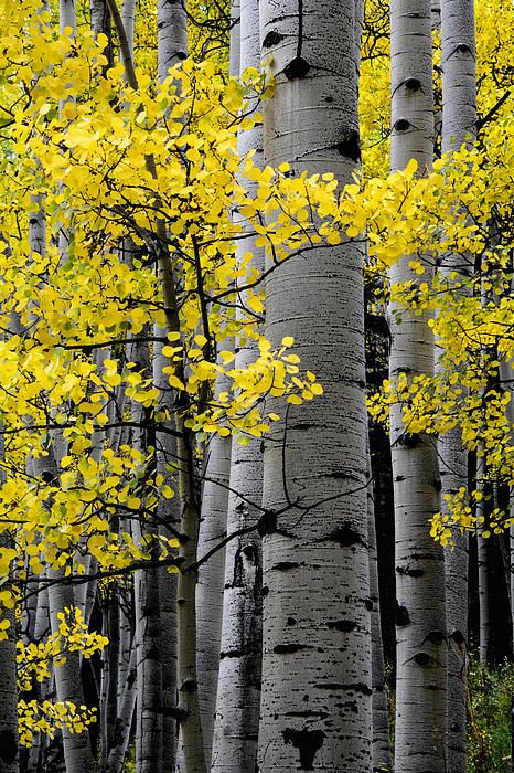 This is called the Edge of Night. It was getting so late on the last day of shoot; I just couldn't leave. The forest was getting darker and darker, but the bright gold aspen leaves just lit up this shot.