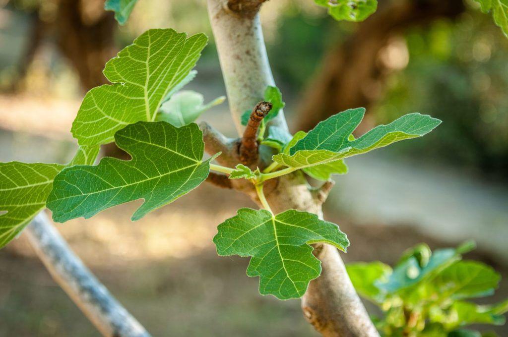 feigenbaum ziehen