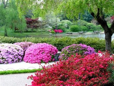 Japanese Garden Plant List   Shrubs Suitable For The Rockery   A Selection