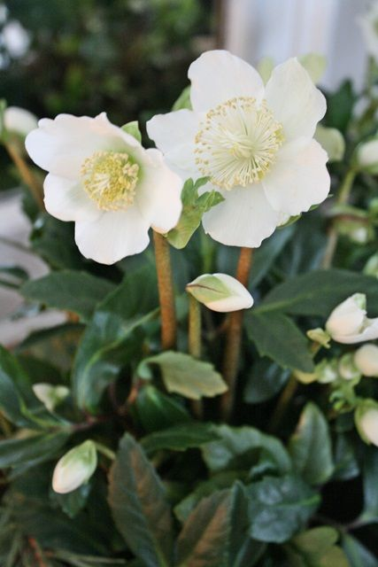 by VIBEKE DESIGN - Christmas rose/Hellebore