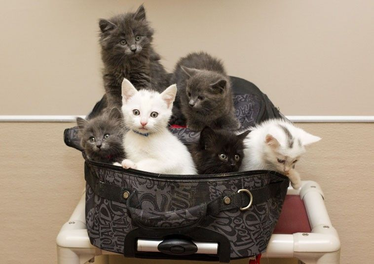 Six abandoned kittens were found in a suitcase in Edmonton, Alberta, Canada  Picture: QMI Agency / Rex Features