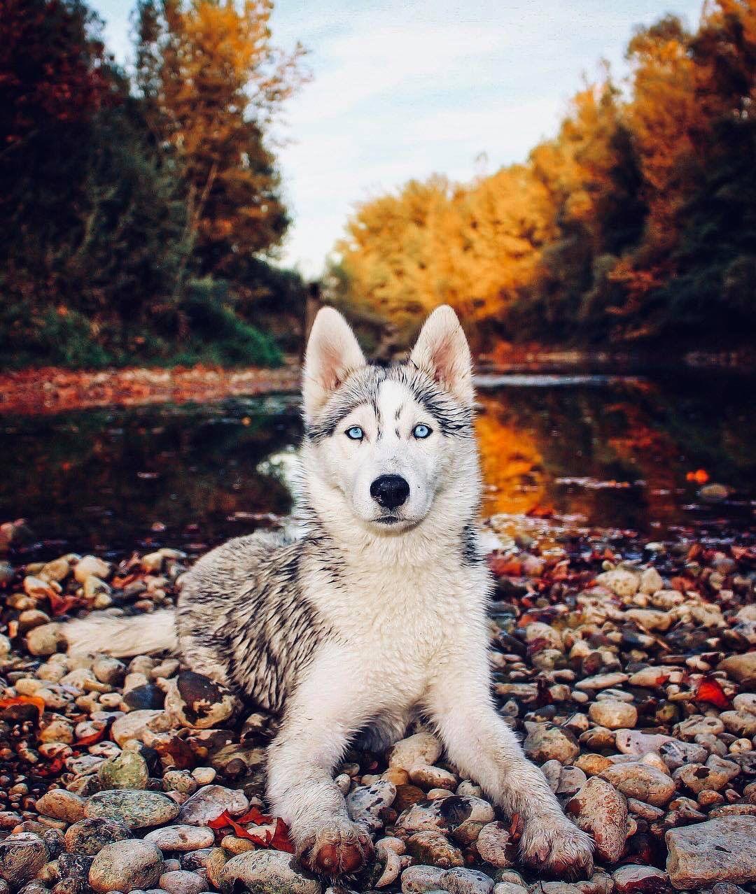 Blue Eyes Husky Best Dog Dogs Ever Love Cutie So Beautiful Fall