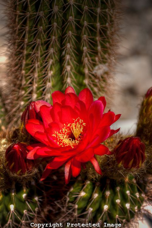 Red argentine giant cactus blooming arizona cactus for Cactus argentina