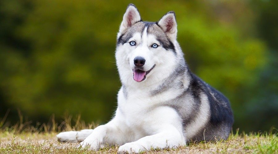 Best Dog Crates For Siberian Huskies Kennel Types Sizes More