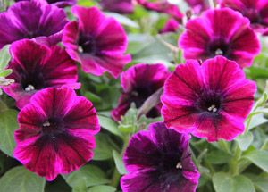 Petunia Sweetunia Johnny Flame This New Petunia Has Large