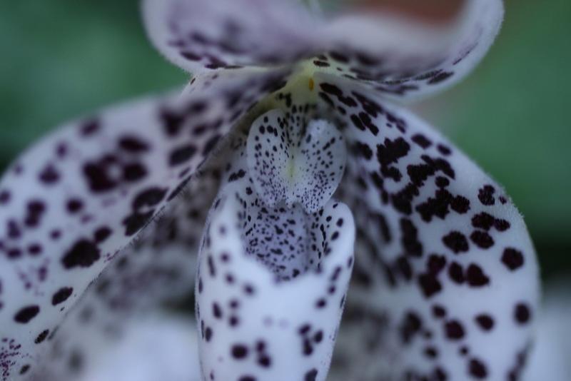 Paphiopedilum bellatulum | Orchids Online