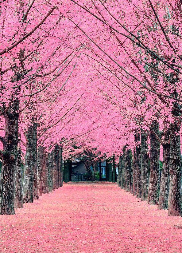 Cherry Blossom Fotografi Alam Pemandangan Latar Belakang