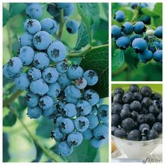 heidelbeeren richtig pflanzen grapes growing pinterest. Black Bedroom Furniture Sets. Home Design Ideas