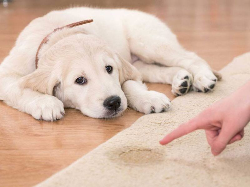 Puppy Potty Training Schedule A Timeline For Housebreaking Your