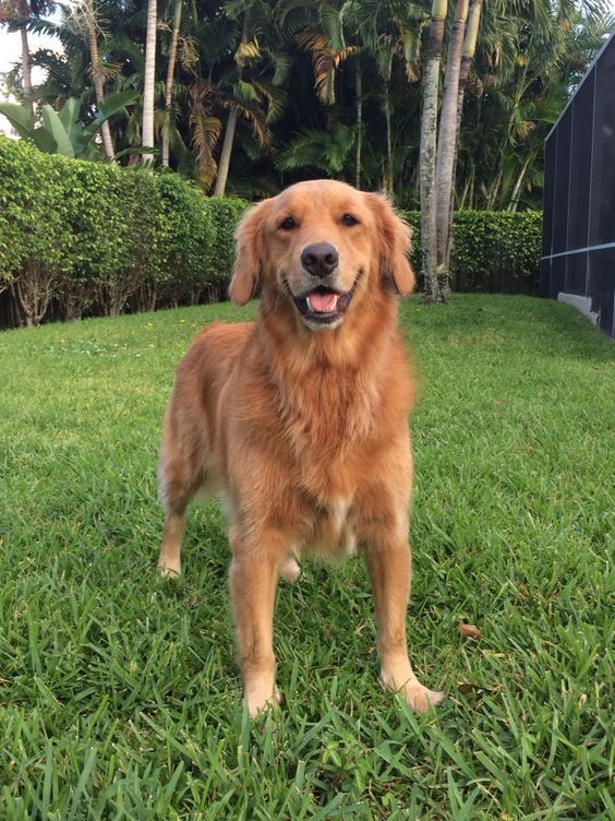 Pin By Mel On Golden Retriever 6 Cute Little Dogs Smiling Dogs Dog Day Afternoon