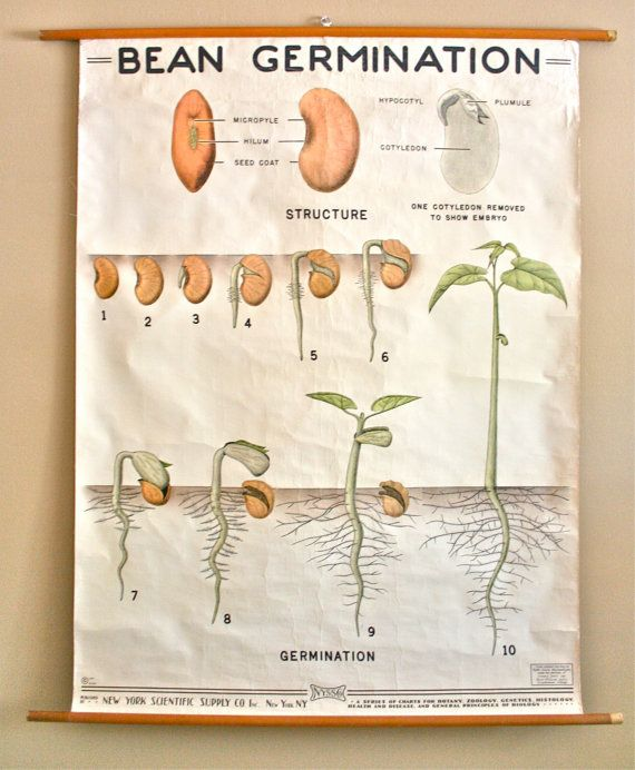 Vintage 1940s Biology School Chart Bean Germination Curated By Legalmisssunshine 175 00 Science Decor Biology Projects Science Projects