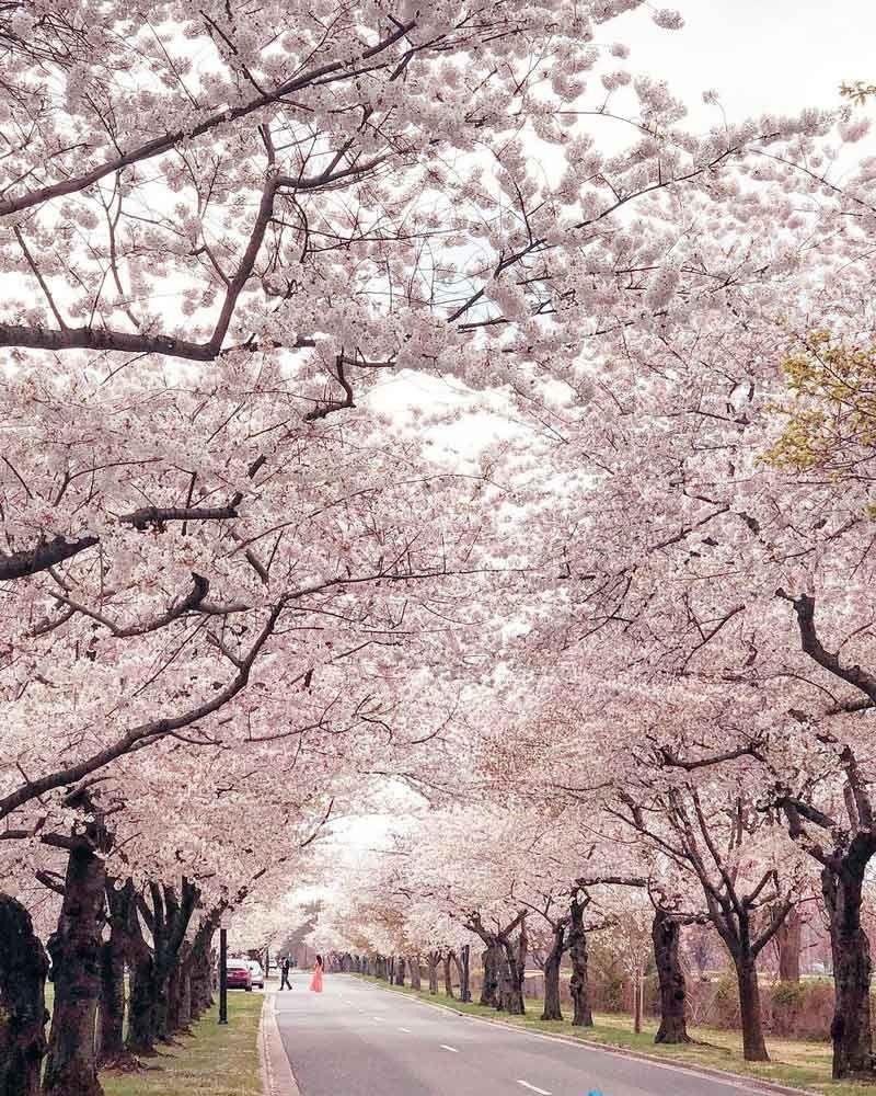 The 2021 Guide To Washington Dc Cherry Blossom Peak Bloom Cherry Blossom Washington Dc Cherry Blossom Festival Cherry Blossom Dc