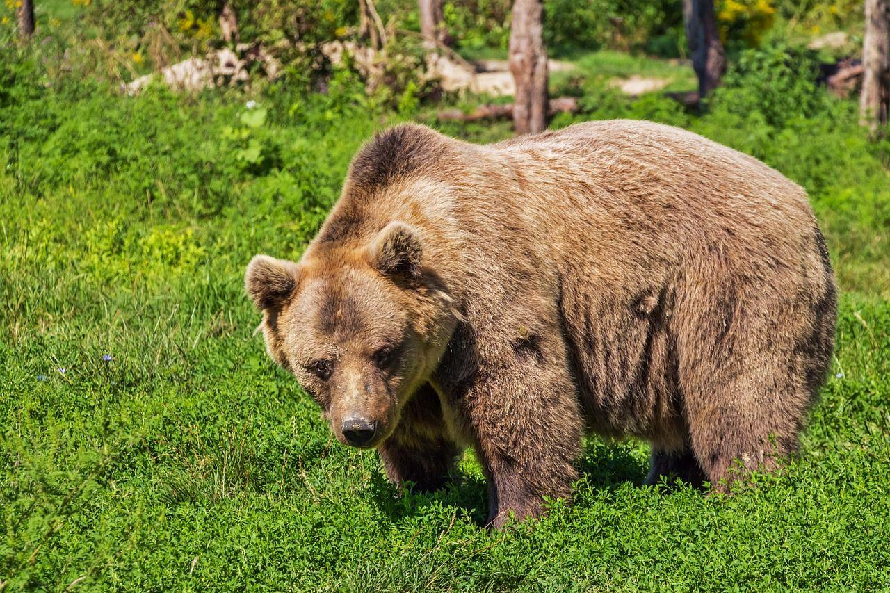 Free Image on Pixabay Bear, Brown Bear, Animal, Mammal