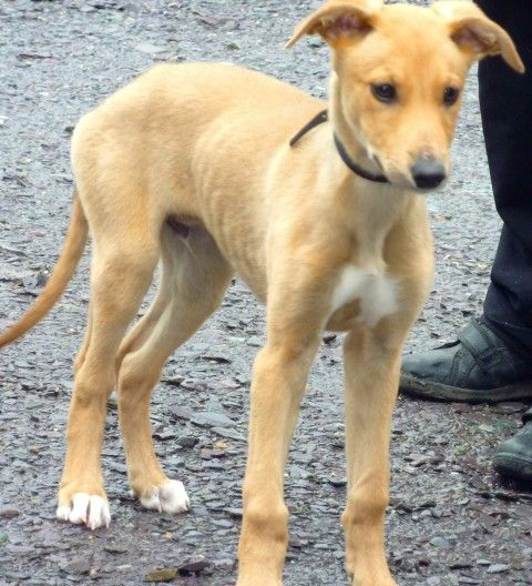 William 12 Week Old Male Greyhound Cross Collie Available For