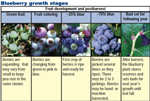 Image Result For Blueberries Stages Growing In Pots