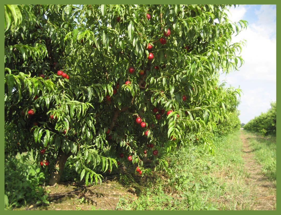Apadrina un rbol en extremadura vegetarianismo pinterest for Arboles frutales para jardin