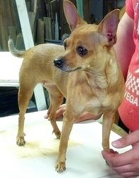 Adopt Tilley on Chihuahua dogs, Animals, Dogs