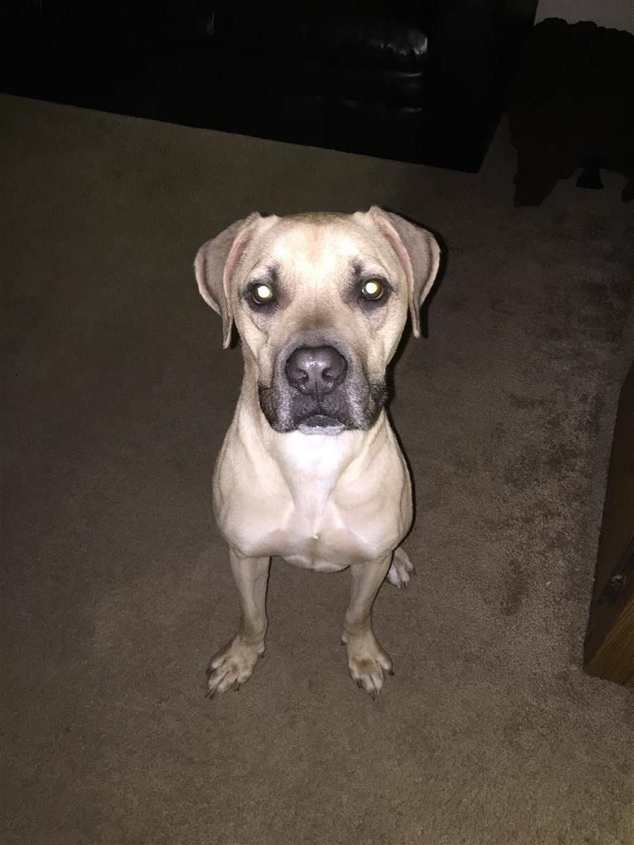 Found Dog Black Mouth Cur Winter Park Fl United States