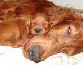 Irish Setter Welpen Vom Zuchter In Thuringen Holly Irish Setter Welpen Susse Hunde Bilder Irish Setter